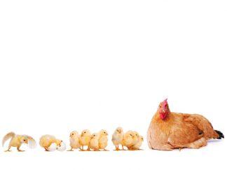 Regali solidali gallina e pulcini
